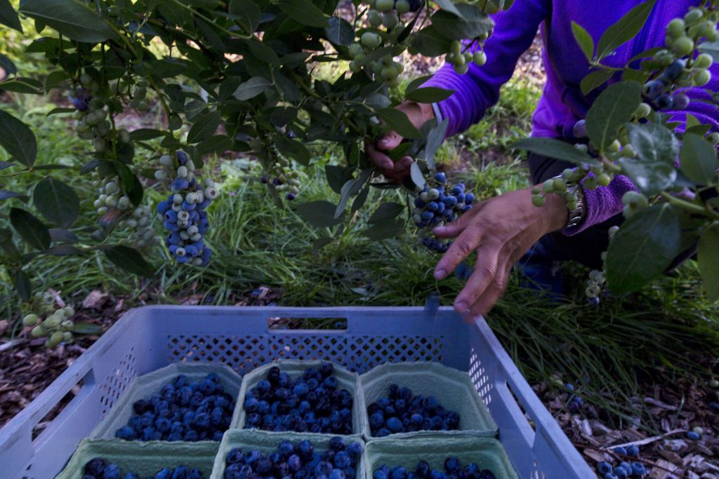 Farmers and Growers - Loes Heerink - life cycle Blueberries
