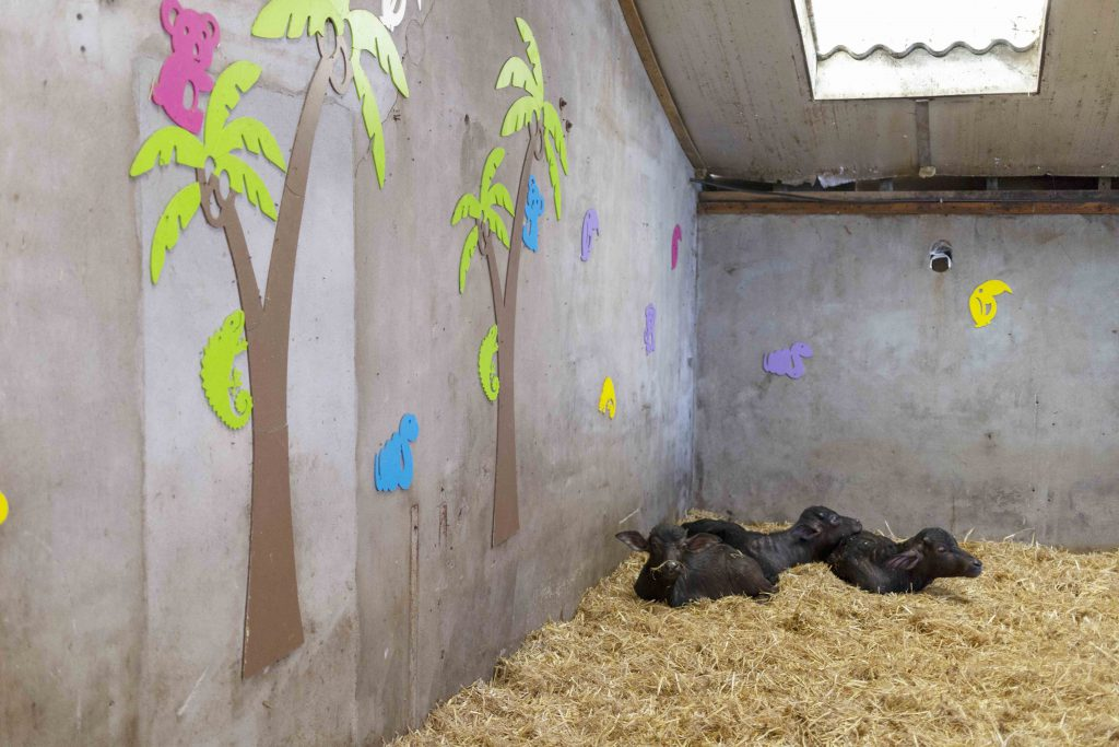The calves in their nursery room