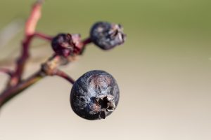 Farmers and Growers - Loes Heerink - Blueberry grower